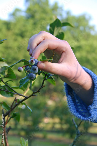 Picking Ripe Blueberries