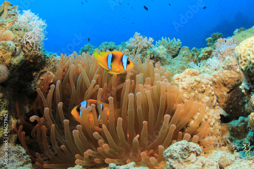 Fluorescent Red Anemone and Pair of Clownfish