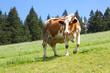 Milch von gesunden Kühen