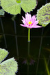 lotus in the pool