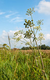 Common Hogweed in a sunny field