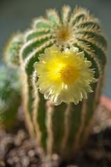Pianta grassa con fiore giallo su sfondo scuro