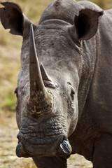 Africa - the rhino, das Nashorn