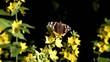 Schmetterling auf Gold-Felberich