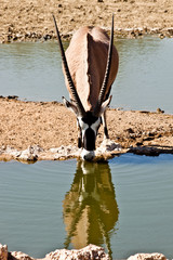 Africa - oryx, gemsbok at waterhole
