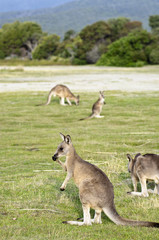 Mob of kangaroos