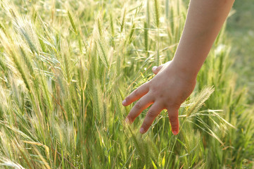 child hand in grain field