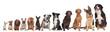 Fototapeten,12,chihuahua,möpse,dackel