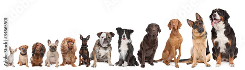 Fototapeta twelve dogs in a row