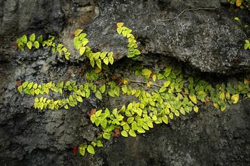 parasite plant on rock