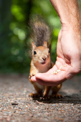 Red squirrel eating from human hand