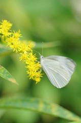 モンシロチョウと黄色い花