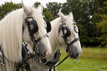 Pair of Shire Horses Pulling a Carriage
