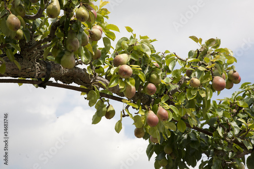 Pears Trained Over Arch