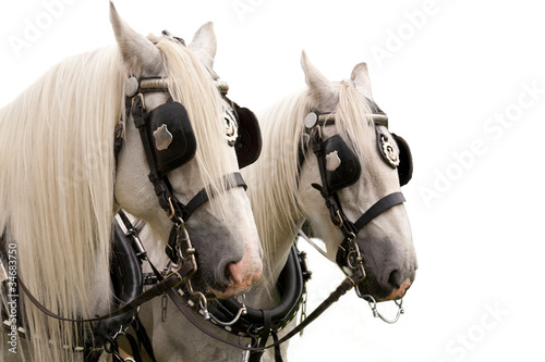 Pair of Shire Horses