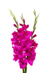 purple gladiolus isolated on white