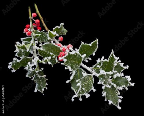 Frosty Holly Stem