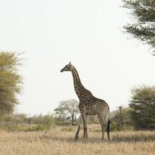 Giraffe in kruger park South Africa