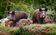 Fototapeten,wildschwein,wald,jagen,familie