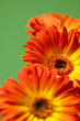 Bouquet of Orange Gerber Daisies