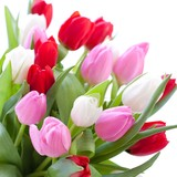 Fototapety Red, pink and white tulips