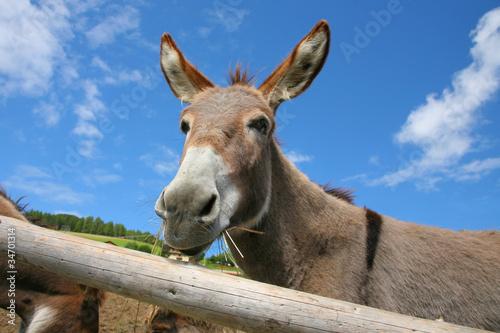 Primo piano di un asino nel suo recinto, Dolomiti, Italia