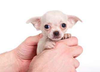 chihuhua puppy on the white background