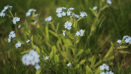 Blue wildflowers. Shallow DOF.