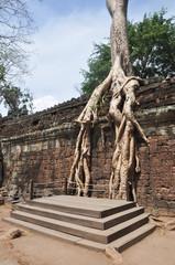 Big tree ingrown into the wall