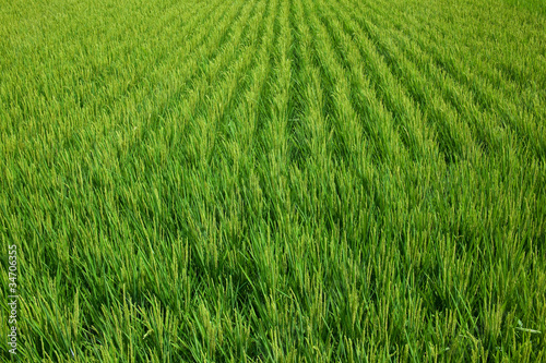 farm[paddy_field]_03