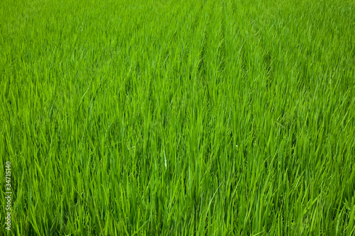 farm[paddy_field]_07