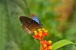 papillon Pentas_fleur_a_nectar sur fleur jaune