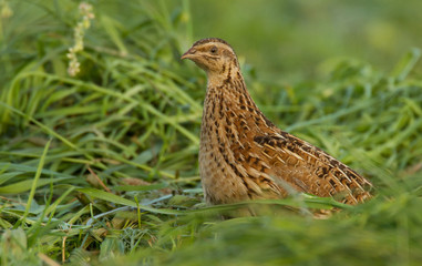 Quail in the field