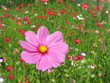 Cosmea magenta in bunter Blumenwiese