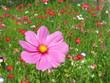 Cosmea magenta in bunter Blumenwiese