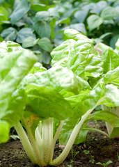 blette dans un jardin potager