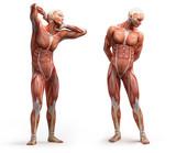 anatomie, svaly