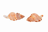Empty seashell of marine mollusc rapana venosa (thomassiana) poster