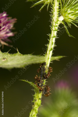 Ants milking aphids