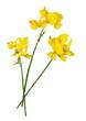 Fleur du genêt