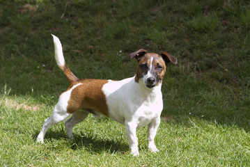 Smart Jack Russell