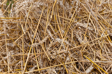 Closeup of residual straw after processing of the grain