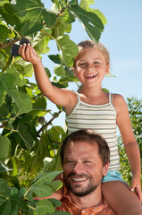 Fig tree -  father with daughter picking ripe figs