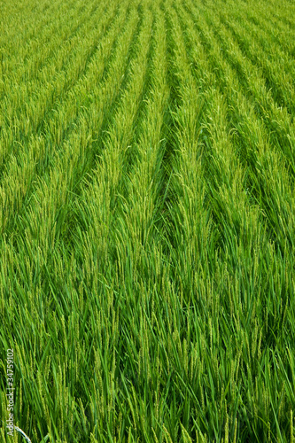 farm[paddy_field]_32