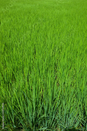 farm[paddy_field]_33