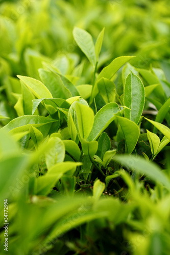 Tea Leaf with Plantation