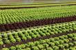 champ de culture intensive de salades