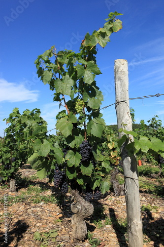 pied de vigne du beaujolais