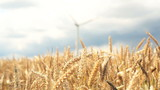 wind turbine in cornfield