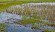 Closeup of a Dutch wetland